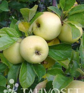 Borgovskoje omena